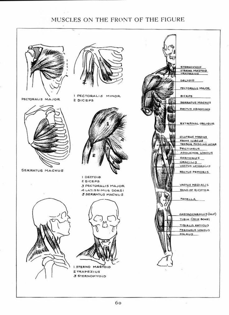 53 best Muscles images on Pinterest | Anatomy reference, Human ...