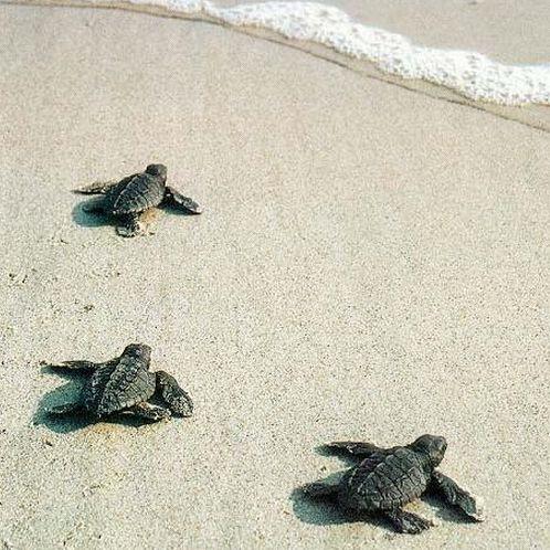 Baby Loggerhead Turtles in Hilton Head Island, South Carolina.