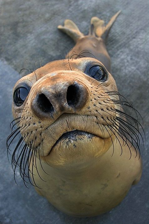 Northern elephant seal yearling