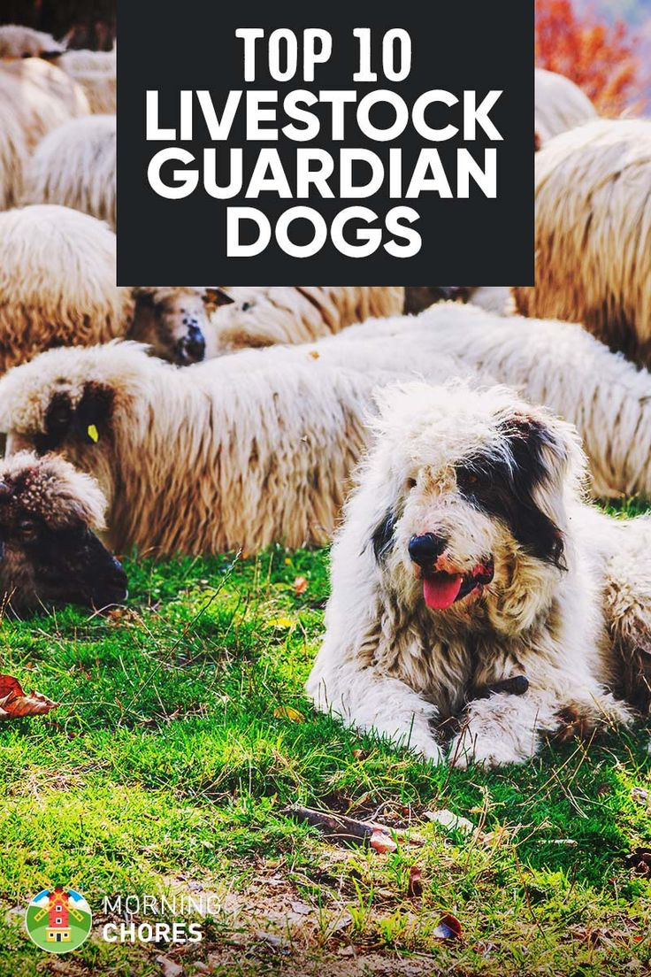 10 Best LGD Farm Dog Breeds to Herd & Protect Your