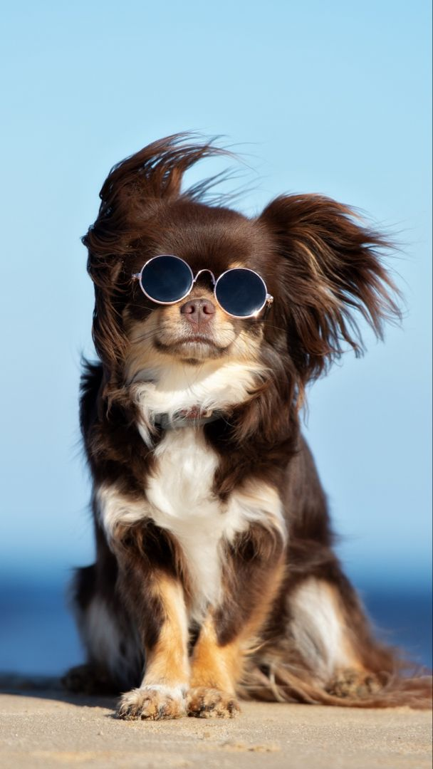 Funny Puppy Wallpaper Chihuahua Dogs Chihuahua Funny Chihuahua Puppies