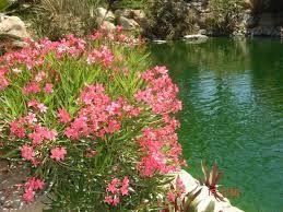 Resultado de imagen para laurel de flor enano