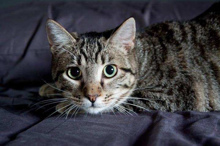 Íñigo, gato en adopción en Madrid (España) cpa.torrejon@hoope.org