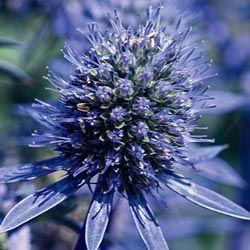 Blue Glitter Sea Holly