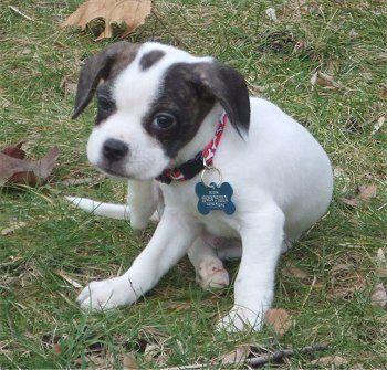 I want one! Super cute Frengle! = Beagle + French Bulldog hybrid