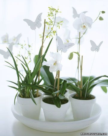 Orquideas mariposa