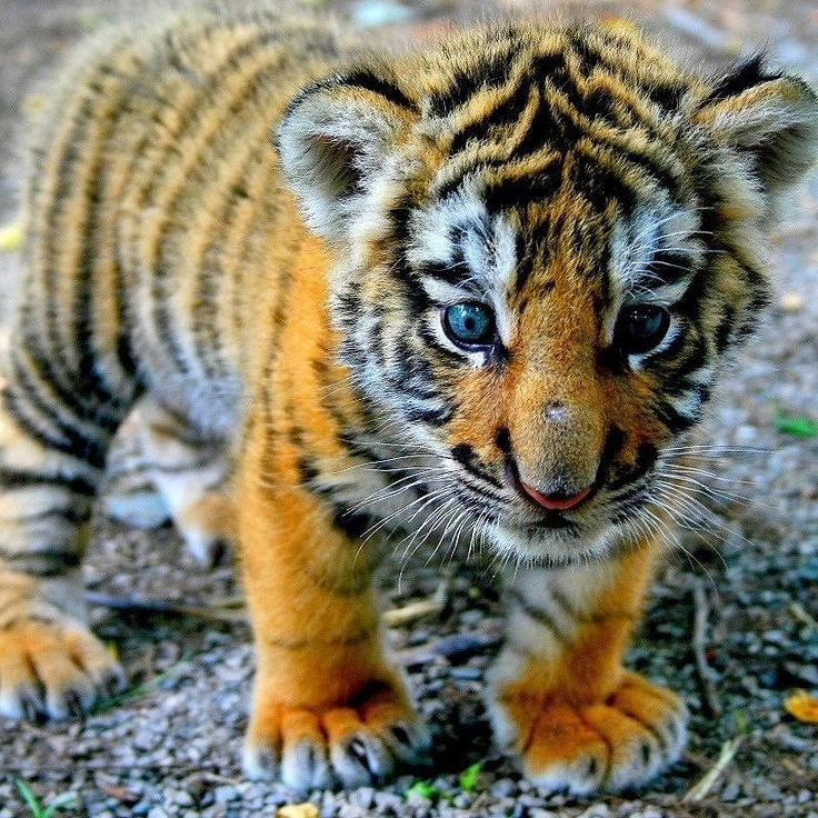 #tiger #animals #animal #toptags @top.tags #wildlife #nature #tagsta #tagsta_nature #instalife #dayshots #wild #natgeohub #igs #instanature #awesome_shots #nature_shooters #vida #fauna #animalsofinstagram #animali #naturaleza #natura #tagstagramers #instanaturelover #ilove #instagood