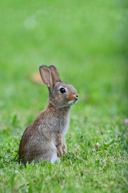 Lapin de garenne 03 must lid s et autres petits - Cuisiner un lapin de garenne ...