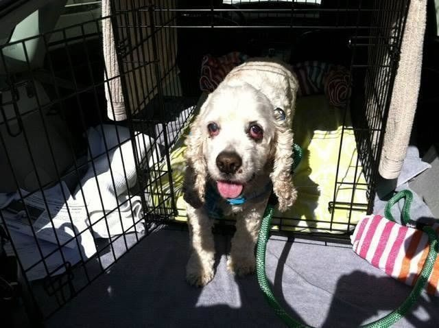 DOG DUMPED AT THE SHELTER FOR BEING TOO OLD