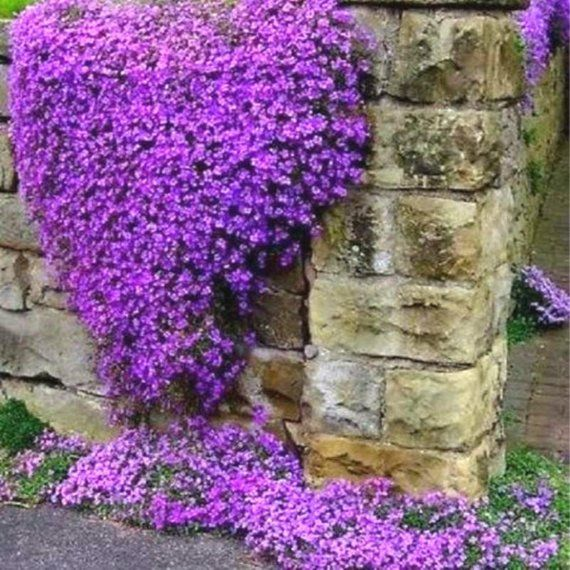 50+ AUBRIETA Cascade Purple Rock Cress / Easy Perennial / Fragrant / Deer Resist Ground Cover Flower Seeds