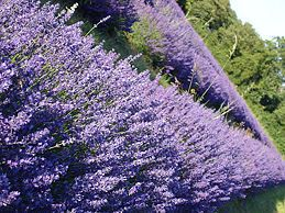 How to make your own essential oils.  Lavendar in this example but others can follow the same pattern.