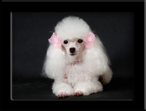 Miniature tea cup Poodles Puppies | AKC Toy Poodle Puppies | Teacup Poodle Breeder CA | Pure Bred Poodle ...