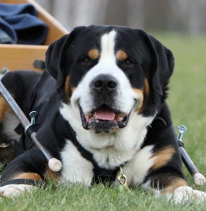 Greater Swiss Mountain Dog #dogs #pets #ShermanFinancialGroup