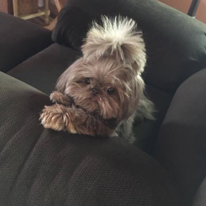 Shih Tzu Affectionate And Playful Shih Tzu Shih Tzu Dog Shih Tzu Haircuts