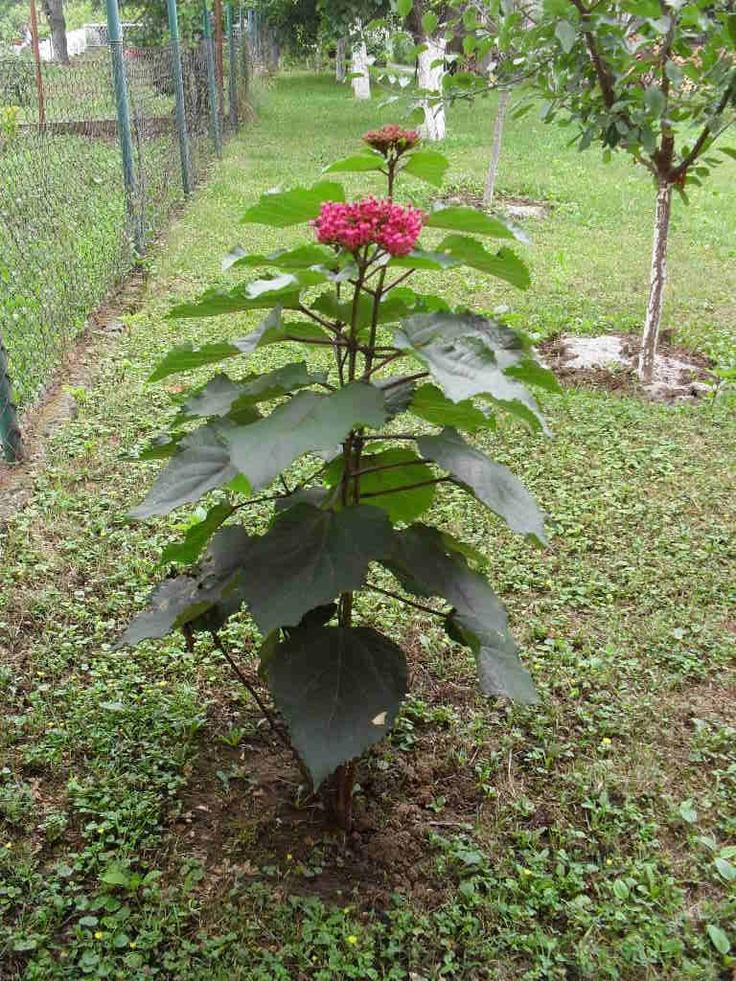 220 best arbustes et arbres feuilles en forme coeur. Black Bedroom Furniture Sets. Home Design Ideas
