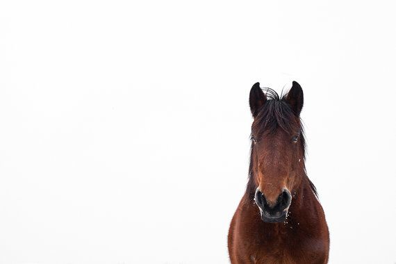 Brown horse white background with cute ears photography ...