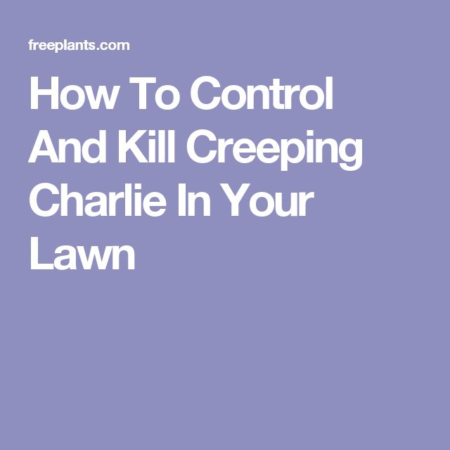 how to get rid of creeping charlie in your lawn