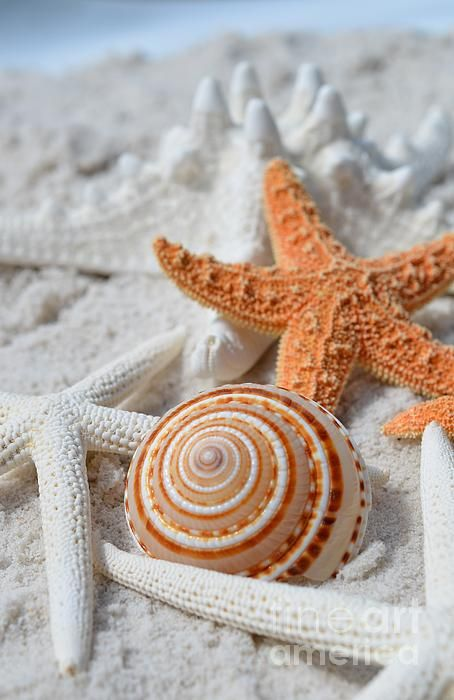 Sundial Shell With Starfish in the Caribbean.