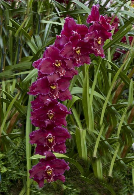 Orchids, Oncidium McBean's Imogen 'Trojan'
