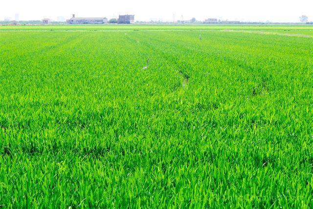 Los colores de los arrozales de la Albura