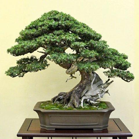 Easy Care Bonsai list bonsai that are hard to kill