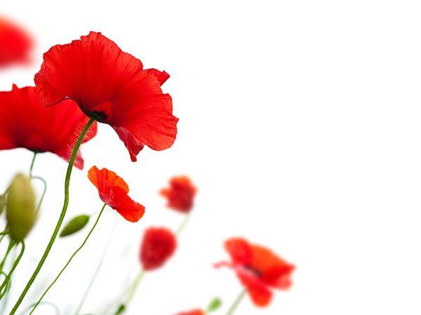 poppies.jpg (600×449)