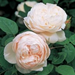 St. Cecilia - David Austin Roses...this guy has been hybridizing roses for decades. So many beautiful roses to choose from. Definitely ordering from this site.
