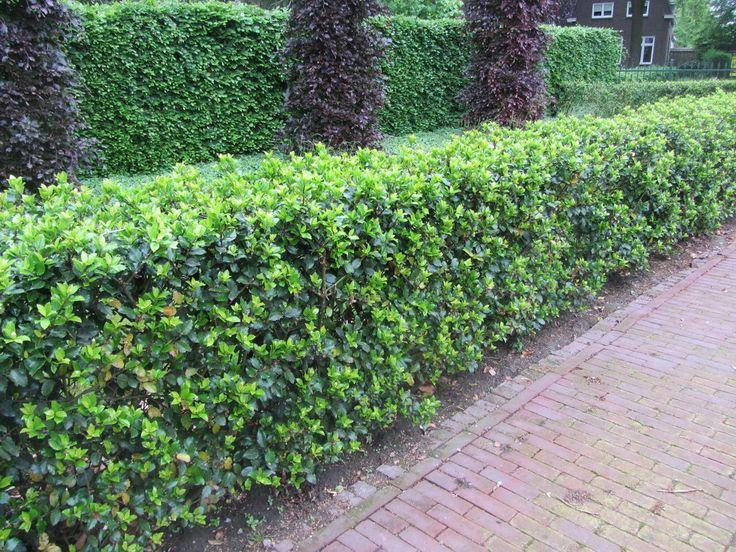 osmanthus x burkwoodii schijnhulst garden pinterest. Black Bedroom Furniture Sets. Home Design Ideas
