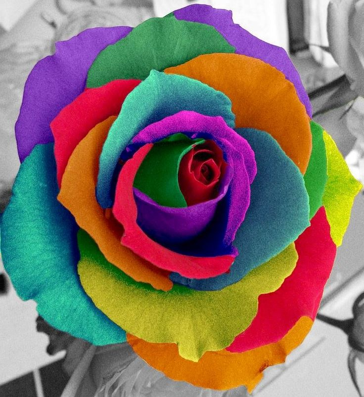 how do they make multi colored roses best flowers and
