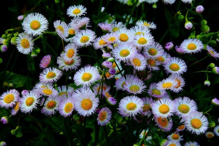Fleabane Daisy   Native gardens can be as pretty as more formal gardens when flowering options like fleabane wildflowers are added. Read this article to learn more about growing daisy fleabane plants.