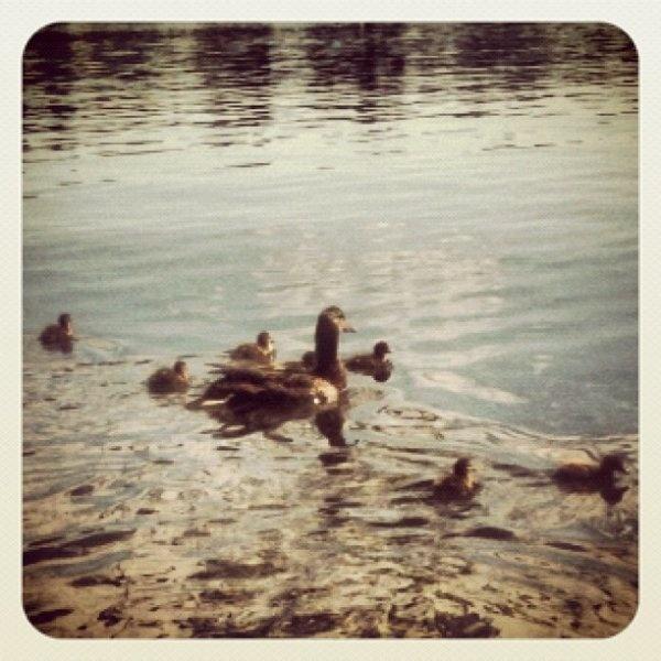 Baby ducks! #PickDeck