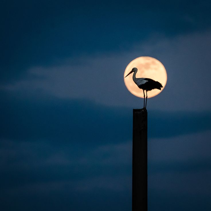 Photograph Moon stork by Catalin Pomeanu on 500px