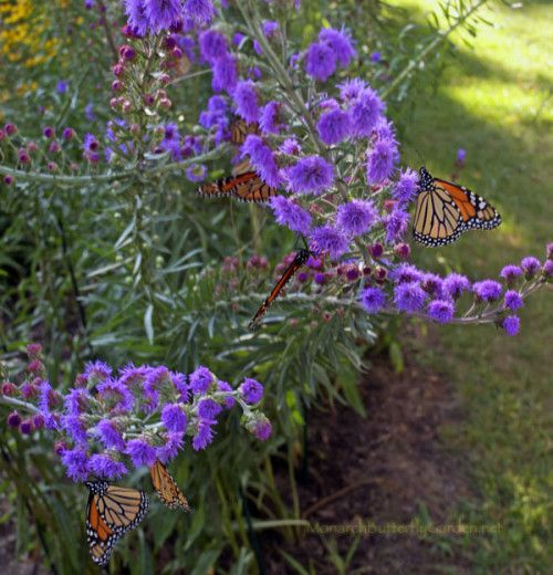 Make the monarch migration come to you by planting this intoxicating liatris species...