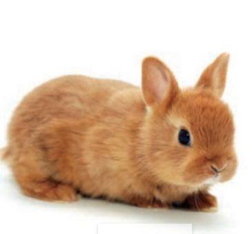 Conejo de juguete se caracteriza por su tama o dentro de - Verdecora mascotas ...