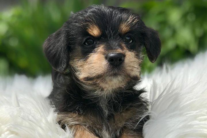Nursery Teeny Pup Dog Breeder Morkie Puppies Breeds