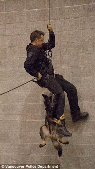 The police dog, named Niko, belongs to Vancouver Police Department, which posted this phot...