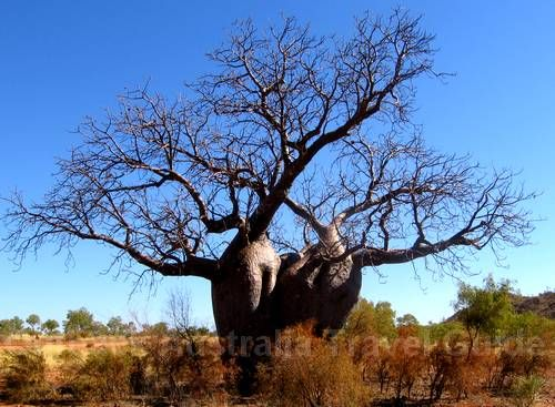 Bottle tree with two trunks. incredible tree