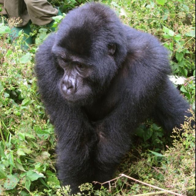 When I tracked mountain gorillas in Uganda!