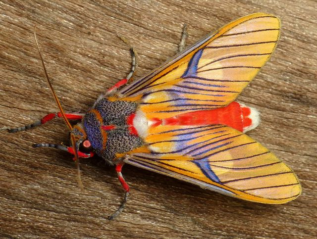 Tiger moth, Idalus sp., Arctiinae   Flickr - Photo Sharing!