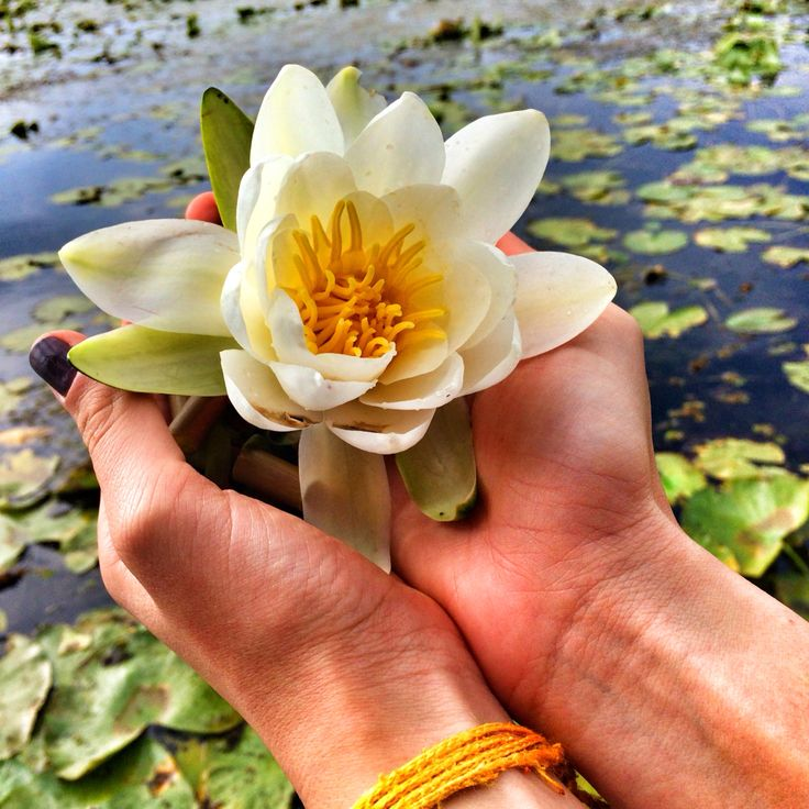 Water Lily in October from Delta Dunarii