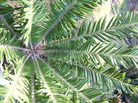 Encephalartos Caffer San Bread Tree Boesmans Broodboom S A no 14,11