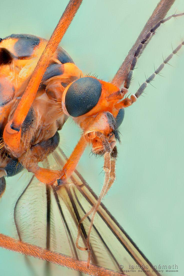Lószúnyogportré (Tipulidae)