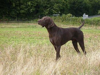 Elevage Le clos des morandes - eleveur de chiens Braque allemand à poil court