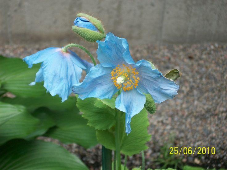 Himalayan Blue Poppy Bouquet 42 best BLUE FL...