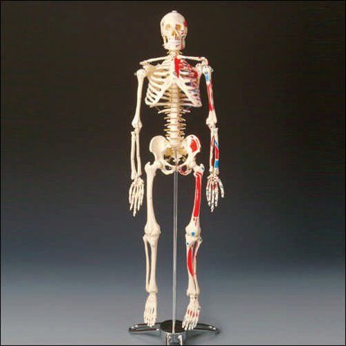 Painted Big Tim Skeleton Anatomical Chart Company http://www.amazon.com/dp/B0009VIZLG/ref=cm_sw_r_pi_dp_V3bAub00PGQ70