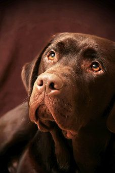 Photocase - 'Labrador Bruno' a photo by 'anpixel'