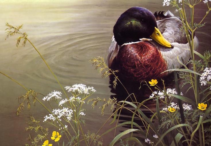 Robert Bateman — Mallard Duck. Mallard Ducks animal art portraits, photographs, information and just plain fun. Also see how artist Kline draws his animal art from only words at drawDOGS.com