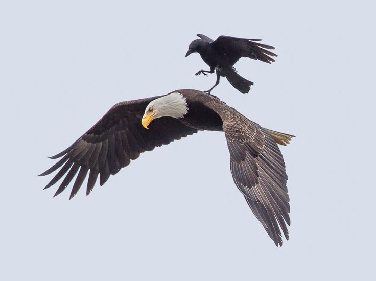 Free Ride: A Crow Catches a Lift on the Back of a Bald Eagle | Colossal