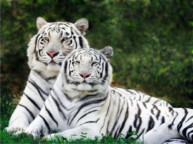 White Siberian Tiger - Bing Images