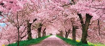Bilderesultat for beautiful japan sakura
